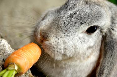 Grey rabbit eating carrot- head_