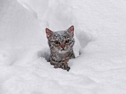 snowkitten2