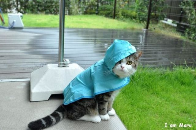 funny-cat-picture-maru-needs-galoshes