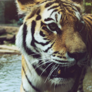 tiger tiger me and you