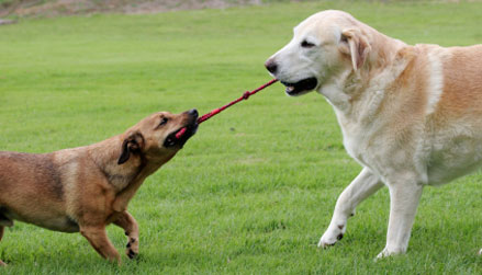 dogs_playing_tug
