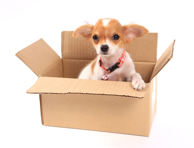 Packing Chihuahuas in boxes? Probs not recommended. via {Shutterstock}