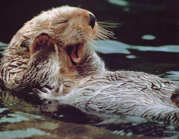 yelling_otter