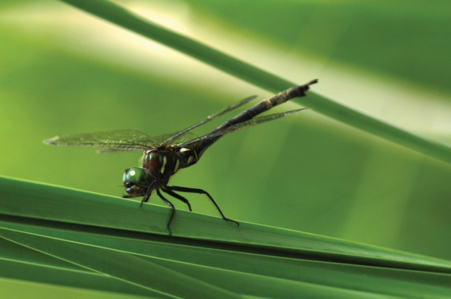 The endangered Hines Emerald Dragonfly (via onearth.org)
