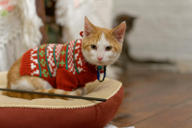 Cats in holiday sweaters. I repeat, cats in holiday sweaters. via {Christmas Cats TV Twitter}