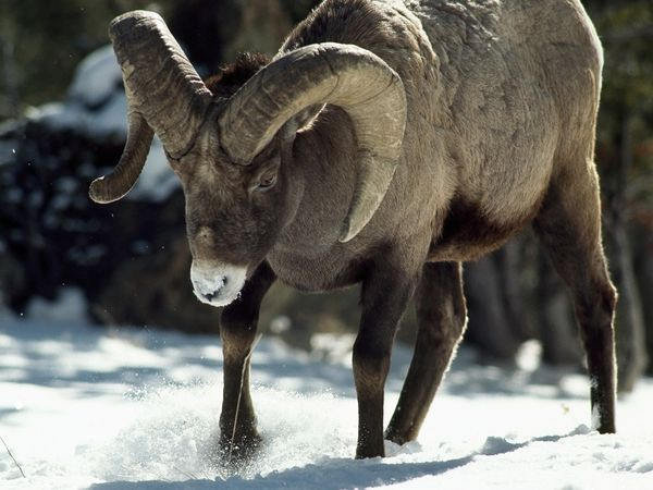 The bighorn sheep, a symbol of rugged outdoorsiness, has predominantly same-sex sex for most of the year (via animals.nationalgeographic.com)