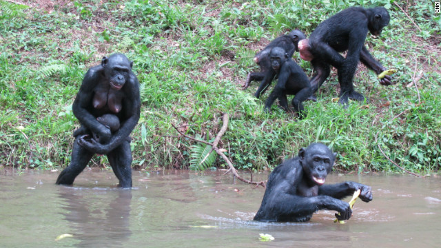 When bonobos are presented with a large quantity of food Bonobos will routinely engage in about ten minutes of sex before eating – facilitating good relationships and sharing (via cnn.com)