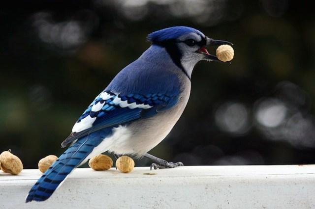 A JOYFUL JAY. JAY, AS IN BLUE JAY, IS A COGNATE OF JAI.