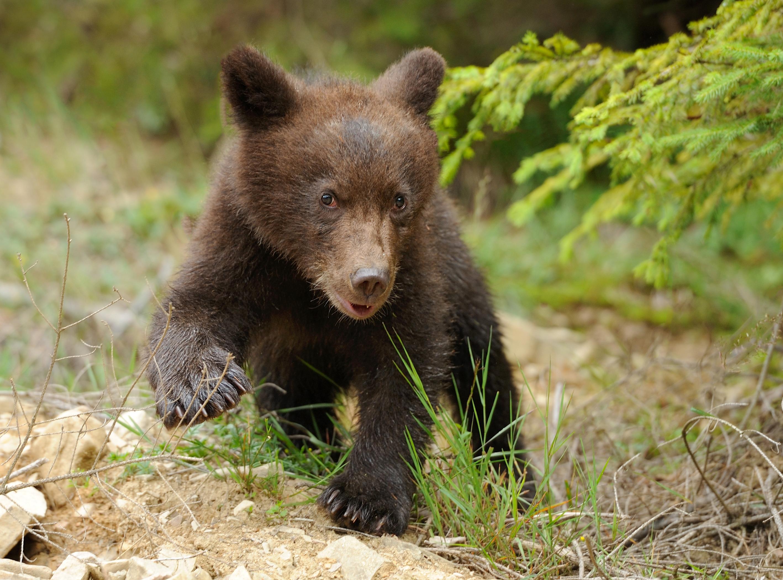 Baby Brown Bear Cub   Car Interior Design
