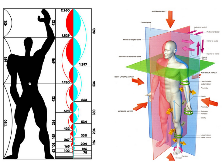 "Left: Le Corbusier's ""Modulator"" design created in the 1940s to set standards for the human body in architecture and mechanical design.""Human"" here is presented as a 1.75 meter man.  Right: The 70kg male body is often used as a standard reference model in anatomical textbooks. The 2004 edition of Gray's Anatomy details anatomical features using the male body, showing female bodies only to show where they deiate from males, especially in primary and secondary sexual characteristics."