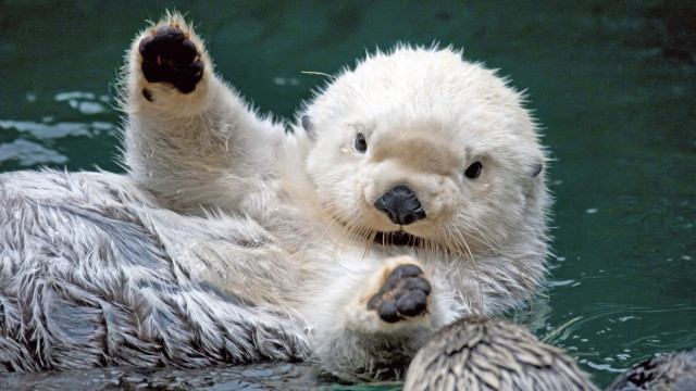 waving otters