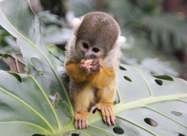 Cute Baby Spider Monkeys Here is a Baby Spider Monkey