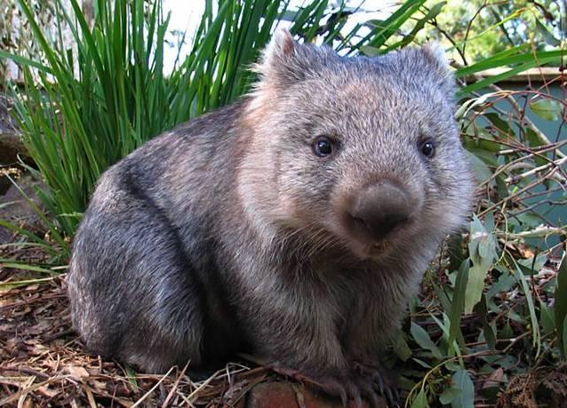 Cute_Wombat