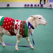 sheep-sweater