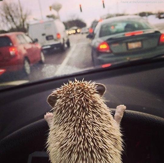 cute-hedgehog-driving-car