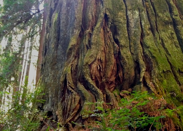Suggestive redwood. #vulvatrees Humbolt State Park, California