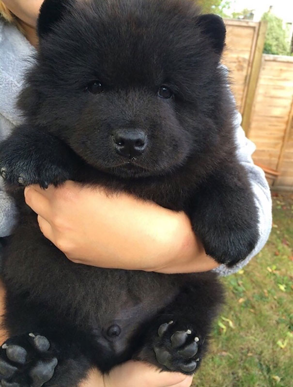 chubby-puppies-bear-cub-look-alikes-1__605