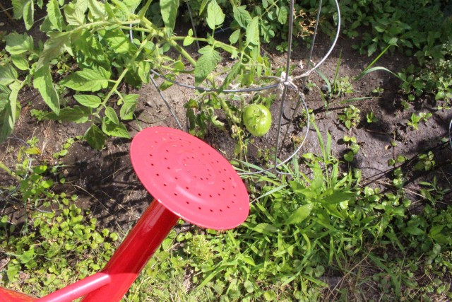 Maybe someday, with enough plant food, this tomato will finally ripen