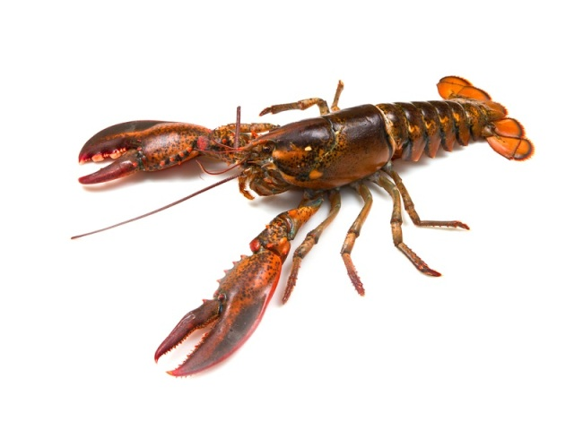 The American Lobster.