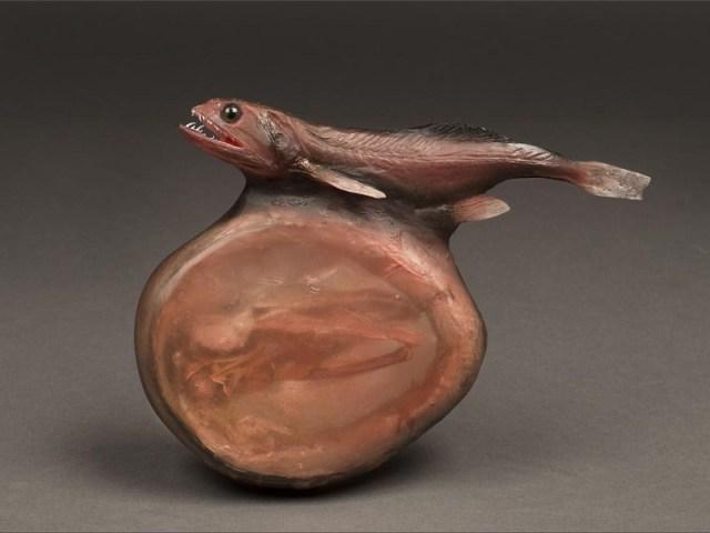 Black Swallower. Via AMNH/R. Mickens.