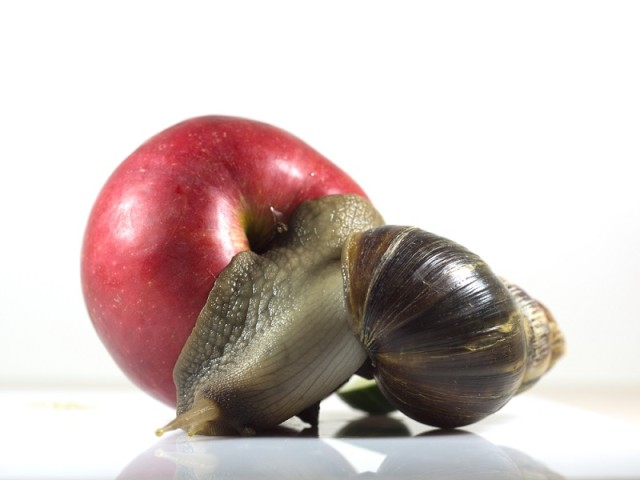 Giant African land snail eating an apple.