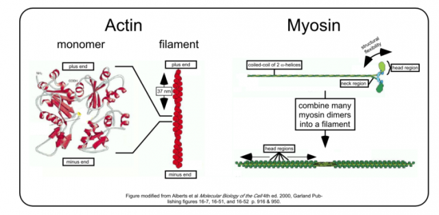 myosin and actin diagram