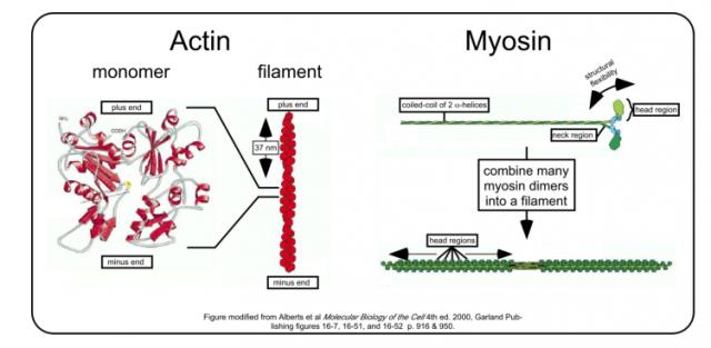 myosin and actin diagram