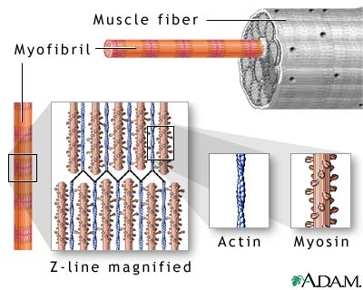A skeletal muscle has regular, ordered groups of fascicles, muscle fibers, myofibrils, and myofilaments. Epimysium (thick connective tissue) binds groups of fascicles together. A fascicle has muscle fibers; perimysium (connective tissue) envelops the fascicle. Endomysium (connective tissue) surrounds the muscle fibers.   A muscle fiber divides into even smaller parts. Within each fiber are strands of myofibrils. These long cylindrical structures appear striped due to strands of tiny myofilaments. Myofilaments have two types of protein: actin (thin myofilaments) and myosin (thick myofilaments). Via Penn Medicine.