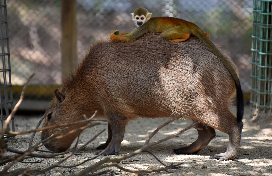 squirrel monkey on a capybara