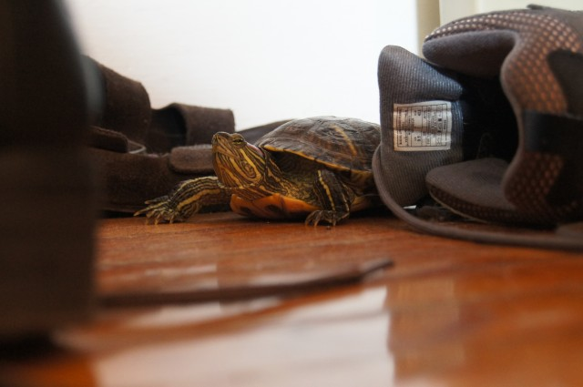 Also be aware of all the surfaces the turtle hangs out on. We try to avoid cuddling with our shoes, anyway, so they're pretty much G's domain.