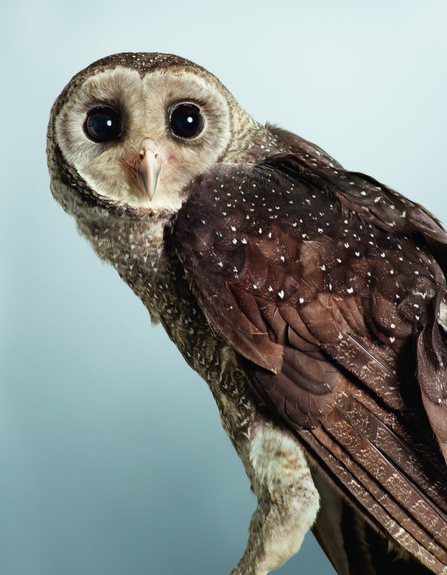 Jeda owl