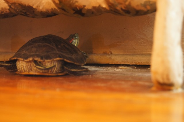 Galapagos being reluctantly photogenic from beneath the radiator.