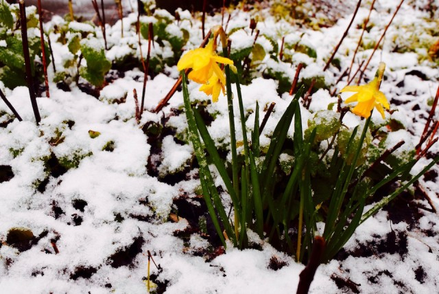 Daffodils in the snow in Manchester