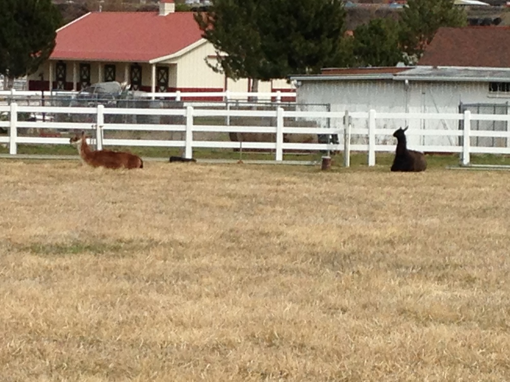 I took this picture of two llamas lying down when I was out knocking on doors asking Democrats to come caucus for Hillary. There are a lot of farms in lots of parts of the town where I live and sometimes you luck out and run into a llama farm like this one.