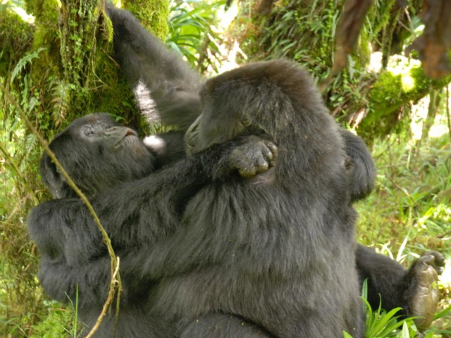 The first ever photo of gorillas having lesbian sex, don't say I never gave you nothin'. Photo by Ceryl Grueter.