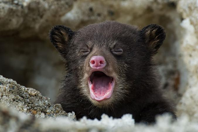 01-bear-cub-gallery-world-series-ngsversion-1478192426825-adapt-676-1