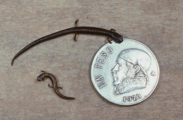 smallest-salamander-01-adapt-590-1