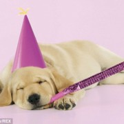 a golden retriever puppy in a party hat with a noisemaker in its mouth falling asleep against a pink background