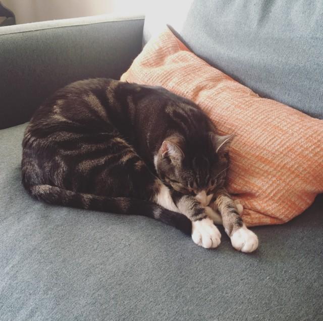 Heather's cat, Socks Bobbi.