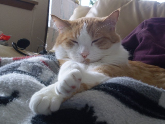 An orange and white cat curled up on a blanket and facing the camera.