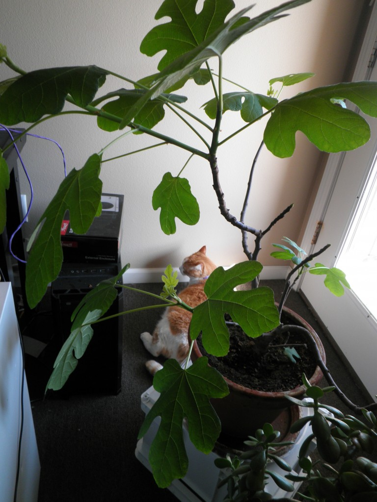An orange and white cat walks through the background of a photo of a small fig tree.