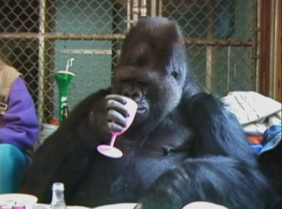 Koko, a western lowlands gorilla, drinking out of a plastic chalice.