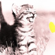 cute kitten in a field laughing