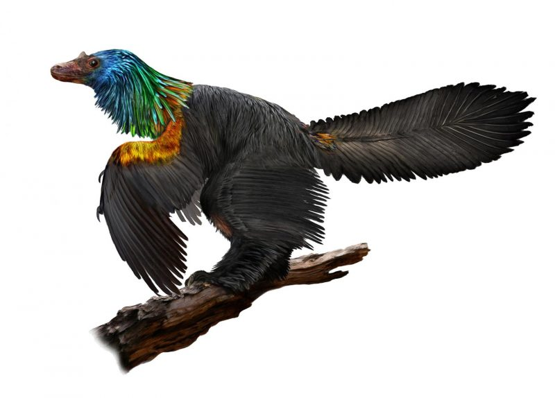 a bird looking dinosaur with bright neck feathers