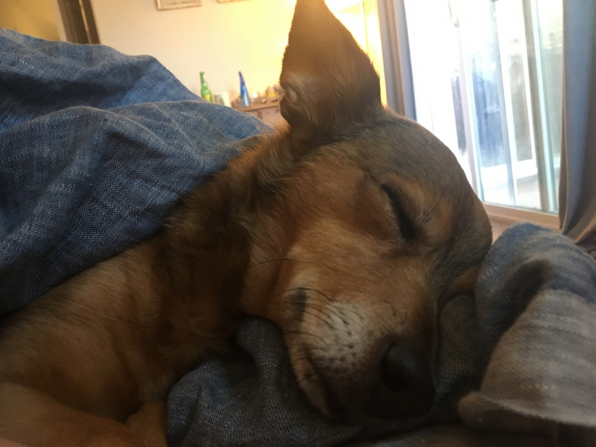 My chihuahua mix, Cyrus, sleeping in bed