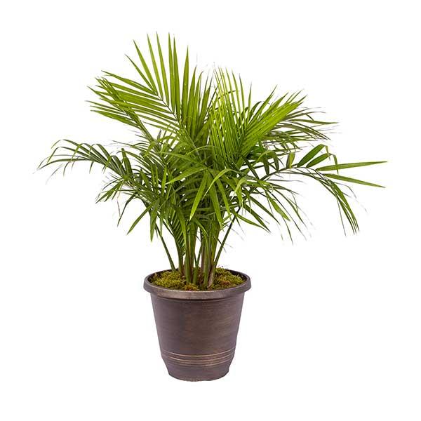 parlor-palm Palm Like House Plant on palm like fern, palm like leaves, palm like weeds, palm like succulents, palm like flower,
