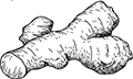 illustration of ginger nub