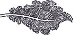 illustration of kale
