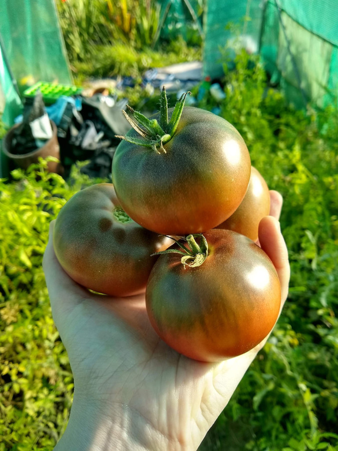 four juicy organic heirloom tomatoes in the hand of a feeble lesbian