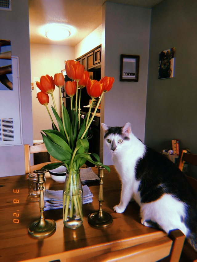 white and grey cat standing by a vase of tulips on a table